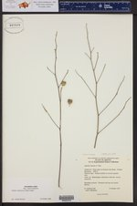 Abutilon mollicomum ()