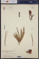 Arcangeliella camphorata ()