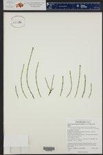 Equisetum variegatum ()