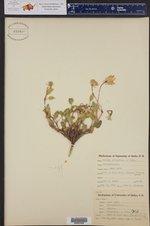 Abronia elliptica ()