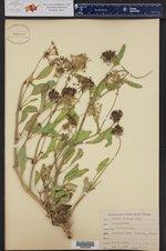 Abronia fragrans ()