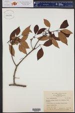 Actinidia callosa var. formosana ()