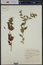 Abelia grandiflora ()