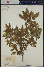 Abelia serrata ()
