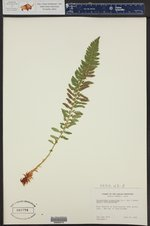 Polystichum scopulinum ()