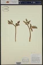 Botrychium michiganense ()