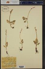 Botrychium simplex var. compositum ()