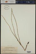 Equisetum hyemale ssp. affine ()