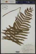 Osmundastrum cinnamomea ()