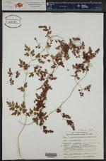 Lygodium japonicum ()