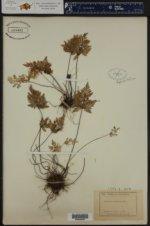 Aspidotis californica ()