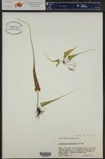 Asplenium rhizophyllum ()