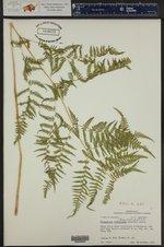 Macrothelypteris torresiana ()