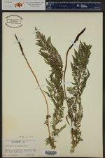 Athyrium distentifolium ()