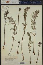 Athyrium distentifolium ssp. americanum ()