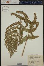 Dryopteris marginalis ()