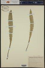 Blechnum spicant ()