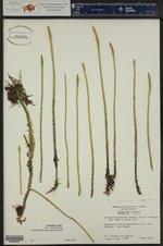 Lycopodiella appressa ()