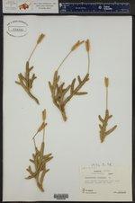 Lycopodium clavatum ()
