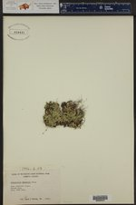 Selaginella standleyi ()