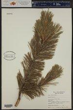 Pinus mugo ()