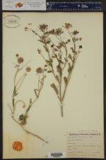 Abronia lanceolata ()
