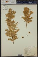 Taxus cuspidata ()