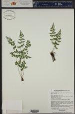 Cystopteris fragilis ()