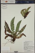 Polystichum lonchitis ()