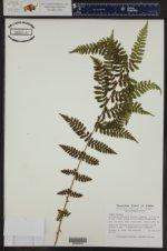 Dryopteris filix-mas ()