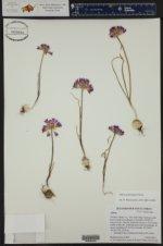 Allium acuminatum ()