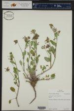 Abronia mellifera ()