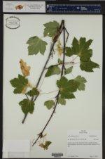 Acer glabrum ()