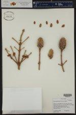 Picea engelmannii ()