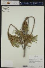 Pinus albicaulis ()