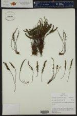 Myriopteris gracillima ()