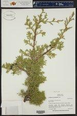 Juniperus occidentalis ()