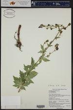 Aconitum columbianum ssp. columbianum ()