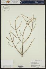 Picea glauca ()