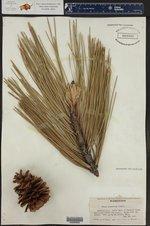 Pinus ponderosa ()