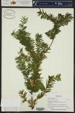 Taxus brevifolia ()