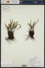 Allosorus gracillima ()