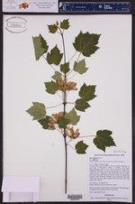 Acer glabrum var. glabrum ()