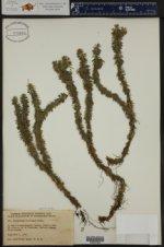 Huperzia lucidula ()