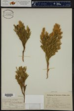Dendrolycopodium dendroideum ()