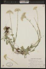 Image of Antennaria argentea