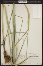 Image of Elymus cinereus