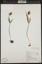 Image of Fritillaria affinis