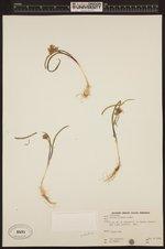 Image of Allium parvum