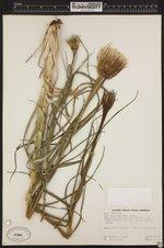 Tragopogon porrifolius image
